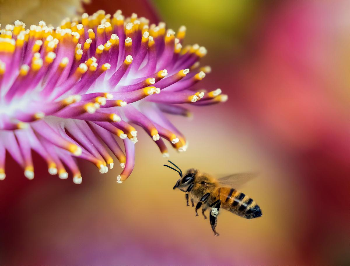 A honey bee flies toward a pink flower.