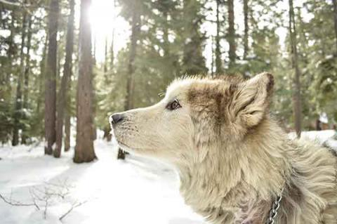 A sled dog in the woods