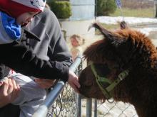 A boy pets an alpaca.