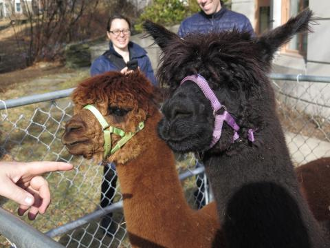 A hand points at two alpacas.
